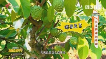 [HD][2020-12-10]摇钱树:冬采释迦别样甜