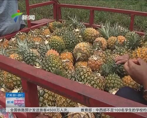 湛江徐闻:菠萝身价爆跌 价格创20年最低
