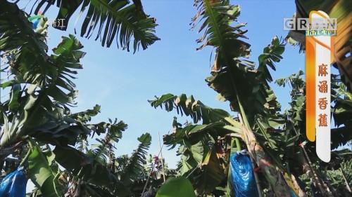 [HD][2019-09-16]摇钱树:麻涌香蕉