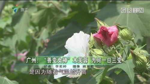 """广州:""""善变女神""""木芙蓉 为何一日三变"""
