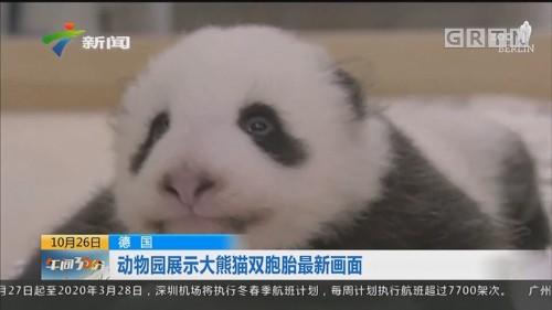 德国:动物园展示大熊猫双胞胎最新画面