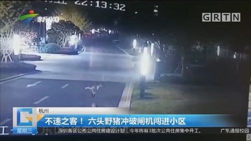 杭州:不速之客!六头野猪冲破闸机闯进小区