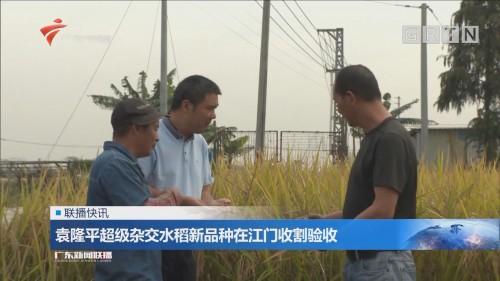 袁隆平超级杂交水稻新品种在江门收割验收