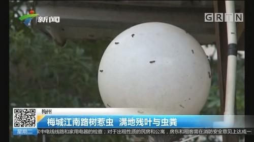 梅州:梅城江南路树惹虫 满地残叶与虫粪