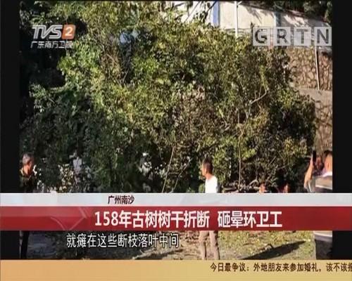 广州南沙 158年古树树干折断 砸晕环卫工