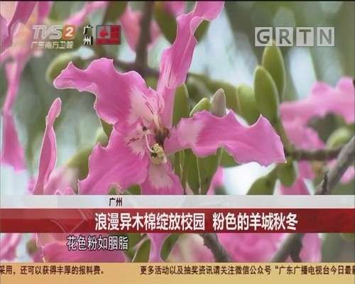 广州 浪漫异木棉绽放校园 粉色的羊城秋冬