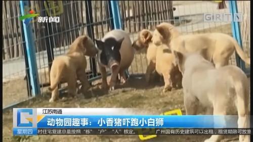 江苏南通 动物园趣事:小香猪吓跑小白狮