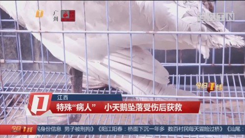 """江西 特殊""""病人""""小天鹅坠落受伤后获救"""