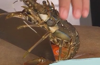 制作姜葱炒龙虾