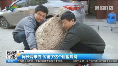 陕西:周长两米四 厉害了这个巨型蜂窝