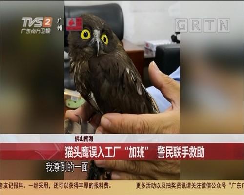 """佛山南海 猫头鹰误入工厂""""加班"""" 警民联手救助"""
