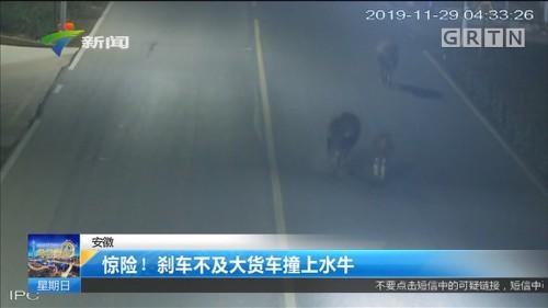 安徽:惊险!刹车不及大货车撞上水牛