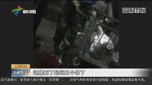 病死猪肉流入广州市场调查:正规肉联厂宰杀病死猪 检疫盖章一条龙
