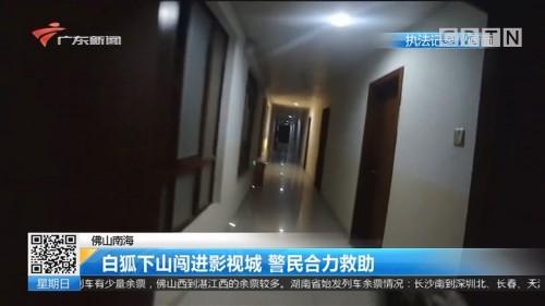 佛山南海:白狐下山闯进影视城 警民合力救助