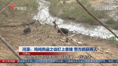河源:鸡鸣狗盗之徒盯上香猪 警方抓获两人