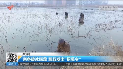 """山东淄博:寒冬破冰踩藕 藕叔发出""""招募令"""""""