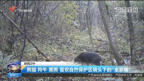 """陕西汉中:熊猫 羚牛 黑熊 留坝自然保护区镜头下的""""全家福"""""""