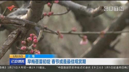 上海 早梅蓓蕾初绽 春节或是最佳观赏期