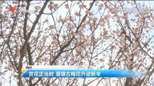 梅州:赏花正当时 潮塘古梅花开迎新年
