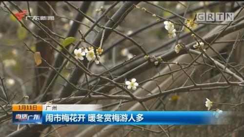 广州 闹市梅花开 暖冬赏梅游人多
