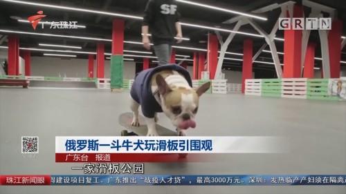 俄罗斯一斗牛犬玩滑板引围观