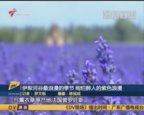 (DV现场)伊犁河谷最浪漫的季节 绚烂醉人的紫色浪漫