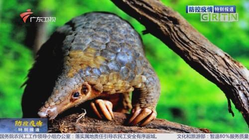 防控疫情最前线:华南农业大学发现穿山甲为新型冠状病毒潜在中间宿主