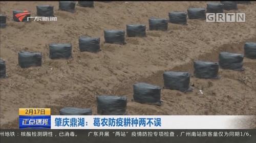 肇庆鼎湖:葛农防疫耕种两不误