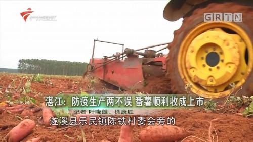 湛江:防疫生产两不误 番薯顺利收成上市
