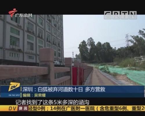 (DV现场)深圳:白狐被弃河道数十日 多方营救