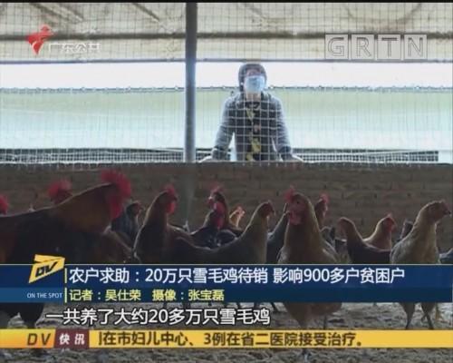 (DV现场)农户求助:20万只雪毛鸡待销 影响900多户贫困户