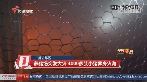 广州花都区 养猪场突发大火 4000多头小猪葬身火海