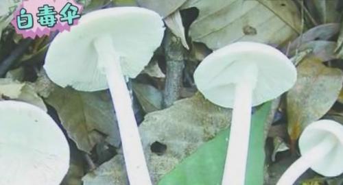 上山采摘毒蘑菇进食 两男一女病危