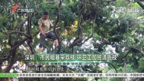 深圳:市民粗暴采荔枝 环卫工加班清折枝