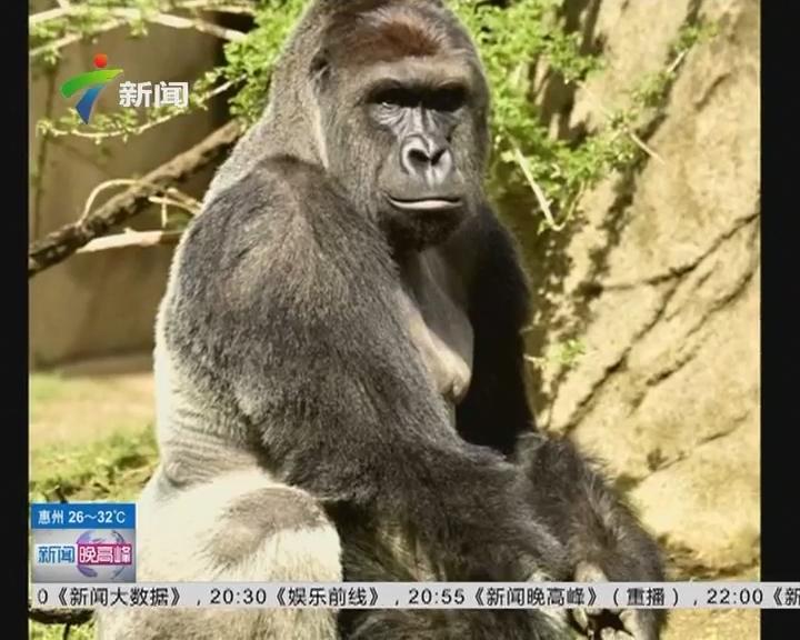美国动物园枪杀一头珍惜的大猩猩