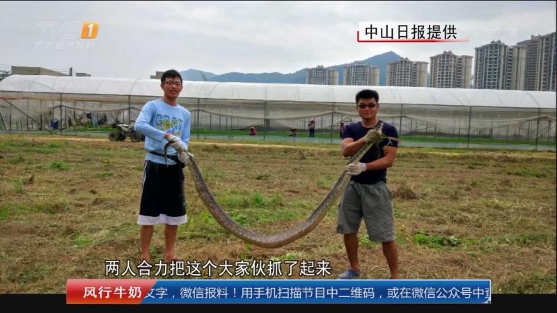 中山三乡:苗圃除草 惊现三米大蛇_今日一线_广东广播