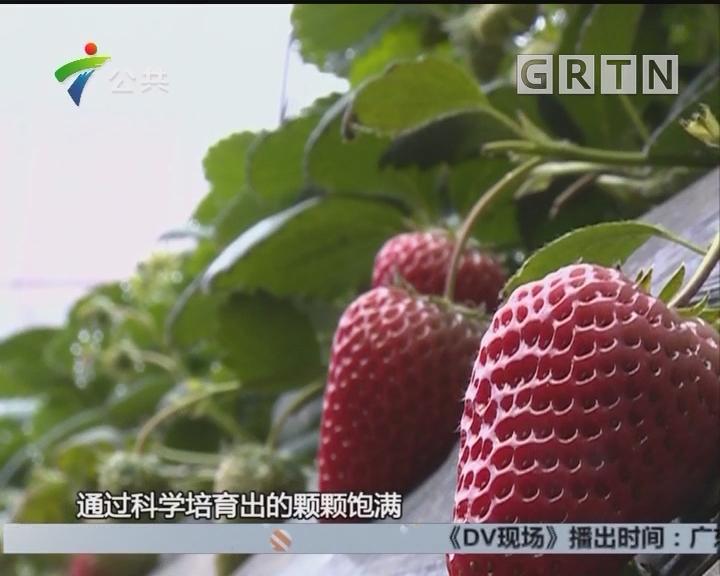 曲振富:品质背后的坚守 只为送上一颗好草莓