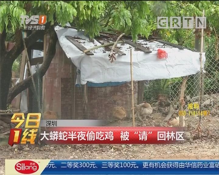 """深圳:大蟒蛇半夜偷吃鸡 被""""请""""回林区"""
