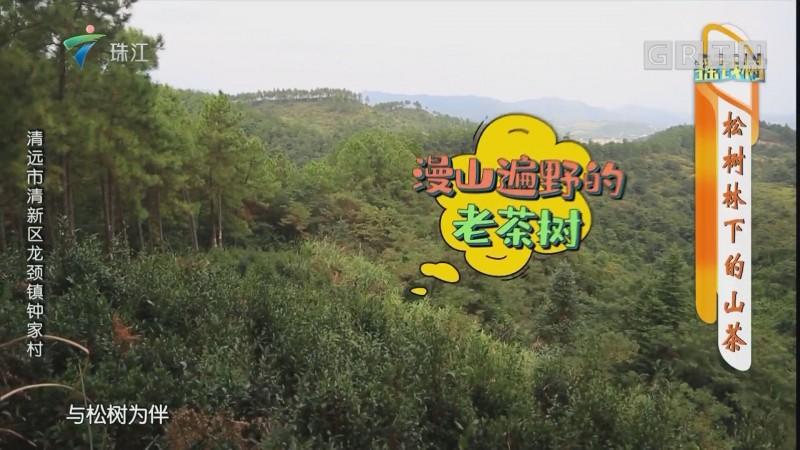 [HD][2019-11-18]摇钱树:松树林下的山茶