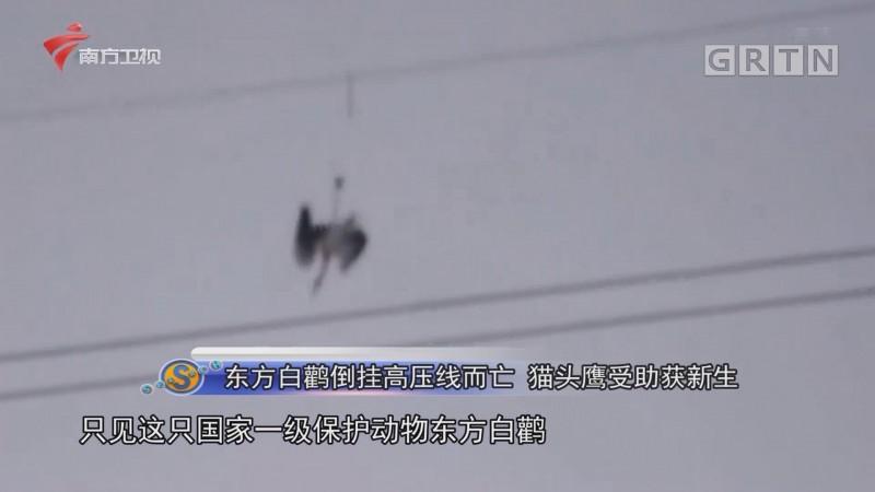 东方白鹳倒挂高压线而亡 猫头鹰受助获新生