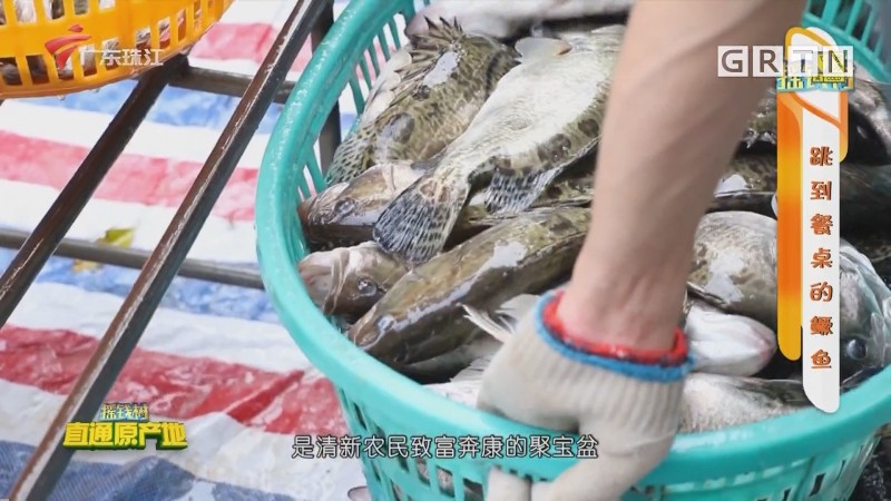 [HD][2020-12-18]摇钱树:跳到餐桌的鳜鱼