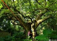广东6株古树入选中国最美古树,其中广州这株你也许很熟悉…