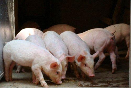 梅州市31官员因7000多万生猪补贴资金落马