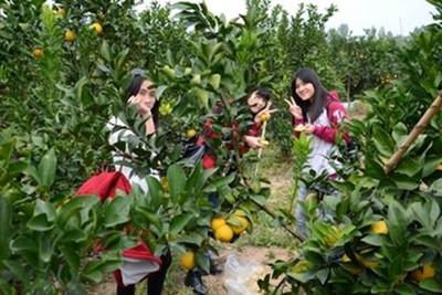 果园采摘+配售农家菜 新模式打开红江橙销路