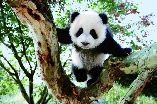 胖胖大熊猫 仲有咩你唔知?