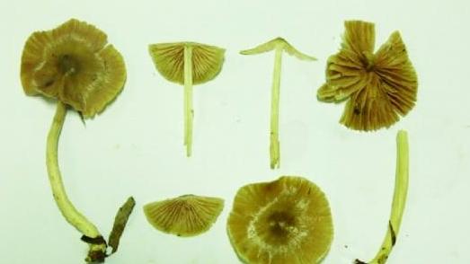 对菇类的外形,显微结构