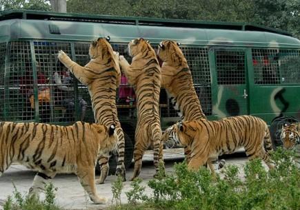老虎伤人致1死1伤 八达岭动物园被勒令停业整顿