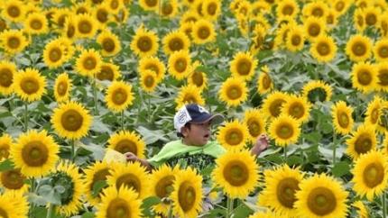 """盛夏好光景:日本""""向日葵节""""开幕 遍野金黄"""