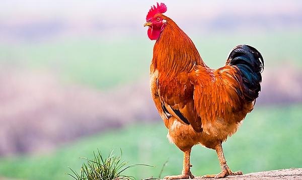 以色列用鸡组织培植鸡肉 健康无害成本低免杀生