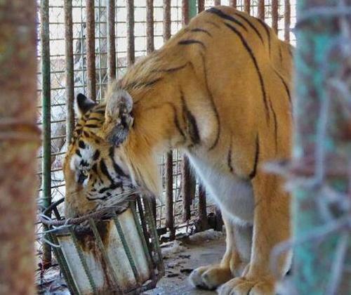 世界最差动物园:多只孟加拉虎因战火、饥饿和疾病死去